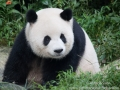 Chengdu-Panda-7.jpg