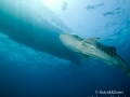 Koh-Ha-Whale-Shark-6.jpg
